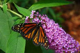 Monarch butterfly on purple butterfly bush flower フォト