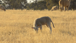 Young Lamb Grazing in a Dry Field with a Flock of Sheep Stock Video Footage
