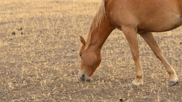 Close Up of a Horse Grazing in a Dry Australian Field Footage