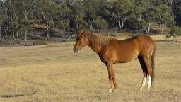 Horse Standing Proud in a Field Stock Video Footage