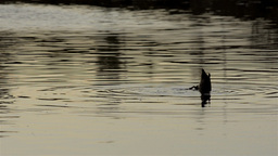 Duck Diving in River Stock Video Footage