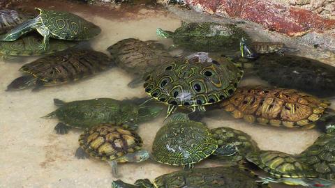 Turtles in Pool Stock Video Footage