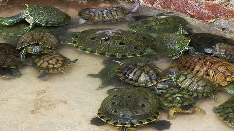 Turtles in Pool Stock Video Footage