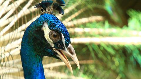 Unique Bright Blue Peacock Stock Video Footage