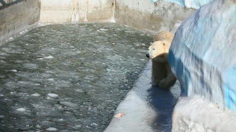 Polar bear Stock Video Footage