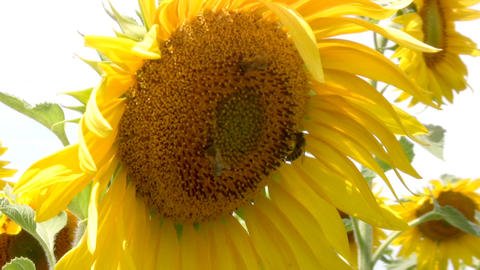 Bee And Sunflower stock footage