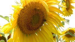 Bee and sunflower Stock Video Footage
