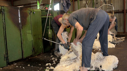 Shearering Gang Shearing Merino Sheep Stock Video Footage