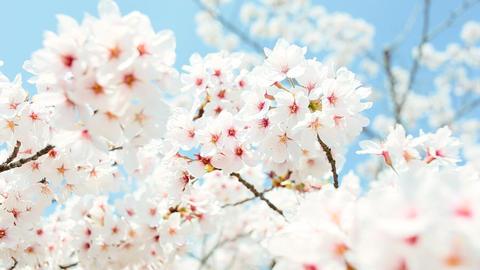 close-up of Cherry Blossom Footage