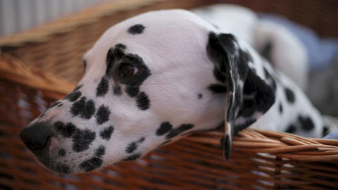 Delilah the Dalmation in bed Footage
