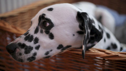Delilah the Dalmation in bed Stock Video Footage