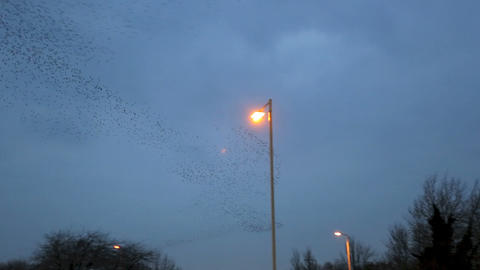 Starling Murmurtion HD Footage
