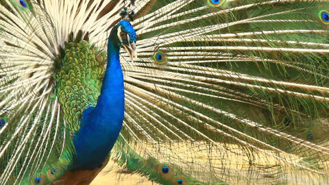 Peacock Displays Unique Tail Feathers Stock Video Footage