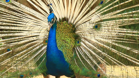 Peacock Displays Unique Tail Feathers Footage