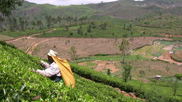 Tea picker in Sri Lanka at work Footage