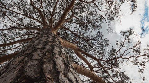 Pine Tree, Time Lapse stock footage