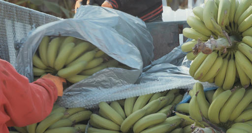 Bananas during harvest and processing in a banana plantation Footage