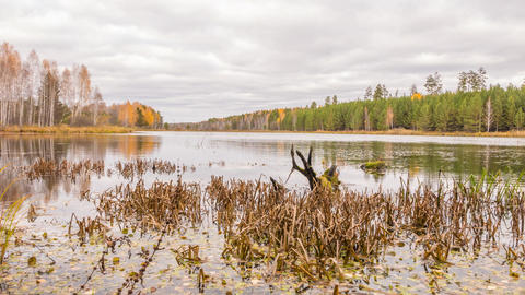 Rotten snag in the pond. Autumn, Russia. Time Lapse Footage