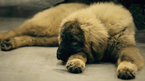 Caucasian shepherd dog lying down Footage