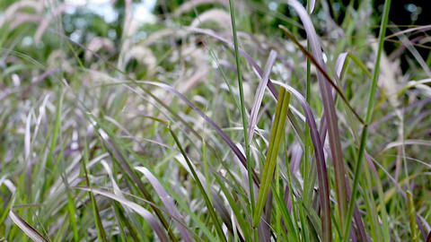 Fountaingrass, Pennisetum setaceum, swaying in the wind Footage