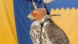 Saker falcon in a cap. Falco cherrug. Bird of prey. Falconry Live Action
