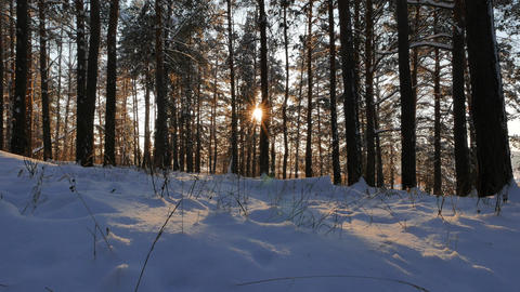 Winter forest. The trunks of the trees against the sun. Slider Footage
