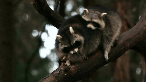 Two raccoons playing and fighting on a tree in nature closeup Footage