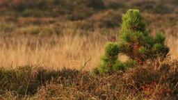 Small pine tree in heathland in denmark / romo Footage