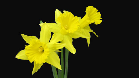 Time-lapse of yellow narcissus flowers with ALPHA channel Footage