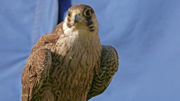 Young Peregrine falcon. Falco peregrinus. Bird of prey Live Action
