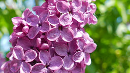 Lilac. Syringa vulgaris Footage