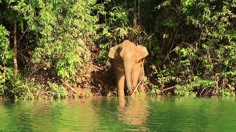 wild elephant name come out the forest Footage