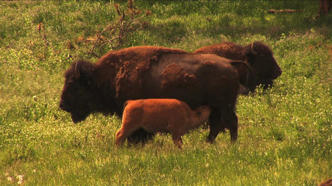 (1113) Bison Grazing on Spring Grass Ranchland with Nursing Calves Footage