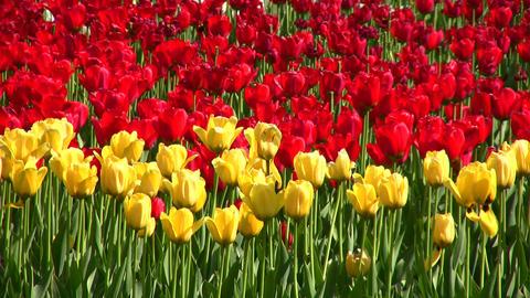 tulip flower field Stock Video Footage