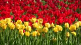 Tulip Flower Field stock footage