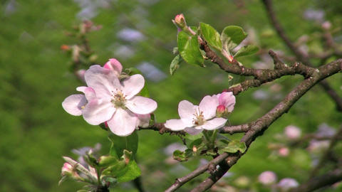 apple flower tree Footage
