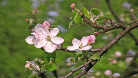 apple flower tree Stock Video Footage