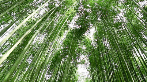 Bamboo Grove Stock Video Footage