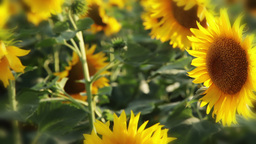 Sunflower background Stock Video Footage