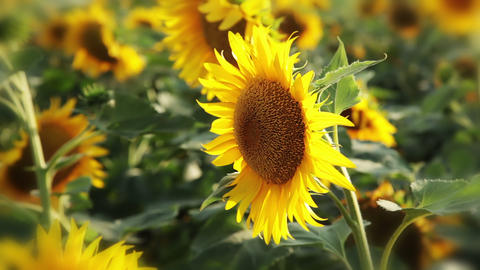 Sunflower background Footage
