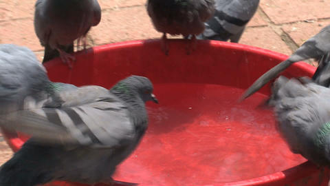 Pigeons drinking water zoom out Stock Video Footage
