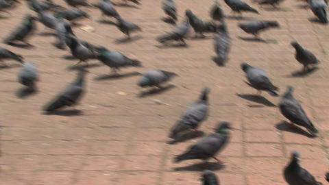 Pigeons drinking water zoom out Footage