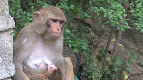 Close up Monkey breastfeeding a baby and jumps awa Stock Video Footage