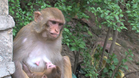 Close up Monkey breastfeeding a baby and jumps awa Footage