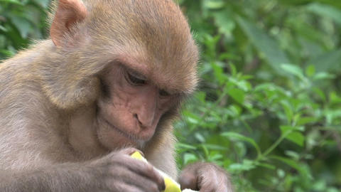 Close up monkey eating fruit Stock Video Footage
