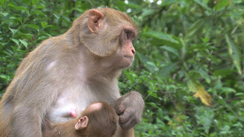 Close up Monkey breastfeeding Stock Video Footage