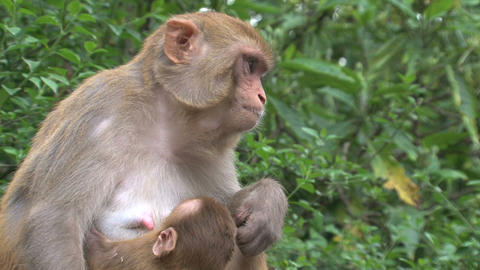 Close up Monkey breastfeeding Live Action