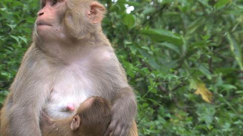 Close up Monkey breastfeeding Stock Video Footage