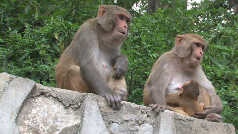 Two monkeys on a wall Stock Video Footage