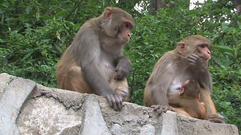 Two monkeys on a wall Footage